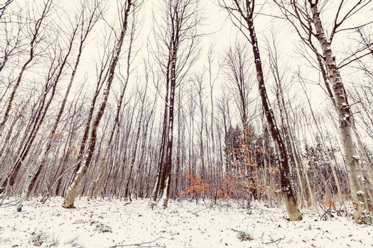 Tall trees in a forest at wintertime
