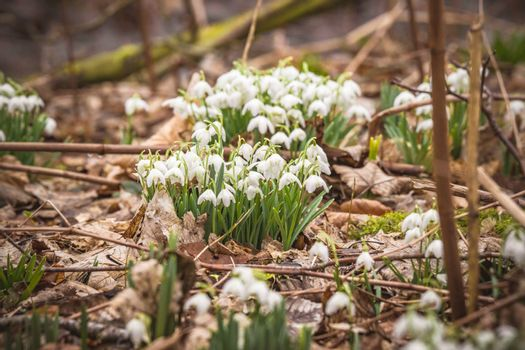 Snowdrops with white bell flowers in a forest in the winter