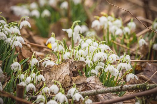 White snowdrop flowers growing in a forest with fallen leaves on the fround