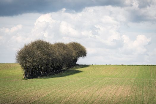 Trees on a row on a field with fresh green crops