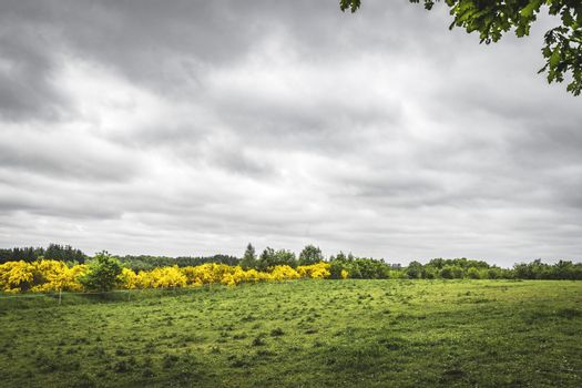 Landscape on a countryside with a green field and yellow broom bushes