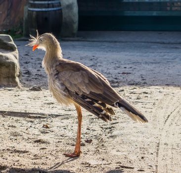 red legged seriema standing in the sand, a tropical bird from the grasslands brazil