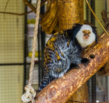 white headed marmoset, a popular monkey from Brazil, exotic cute pets