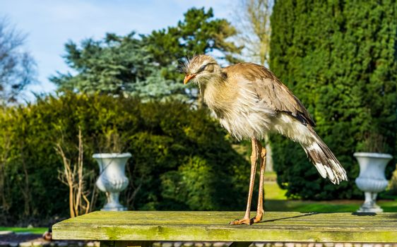 red legged seriema standing on a table in a garden, tropical bird from the grasslands of Brazil