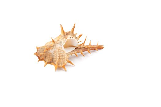 Prickly seashell isolated on white