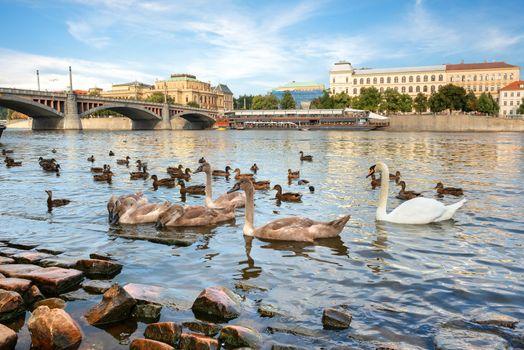 Birds on riverbank in Prague