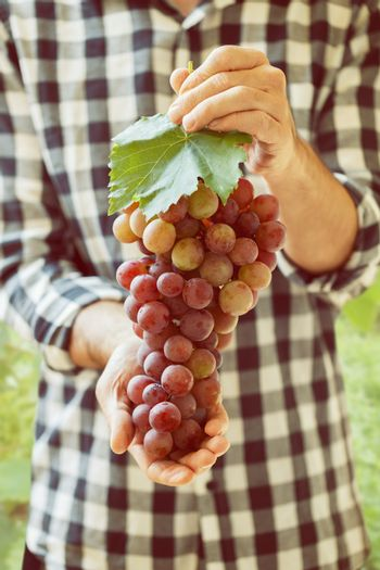 Pink grapes in farmer's hands