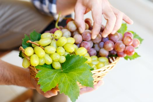Farmer holding pink and white grapes