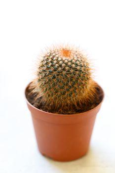 Miniature cactus in a pot