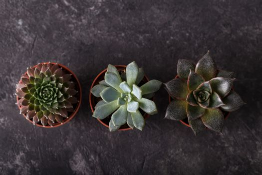 Small succulents in pots