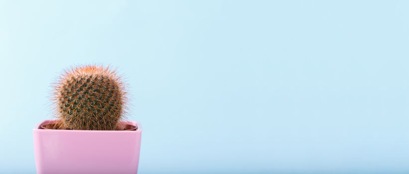 Miniature cactus on blue background
