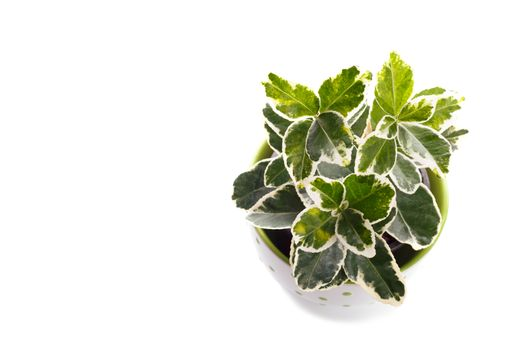 Gold Variegated Japanese Euonymus