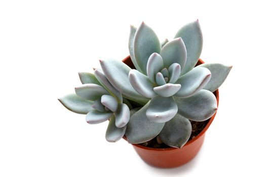 Small succulent in a pot