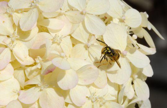 Wasp yellowjacket on white summer hydrangea blossom flower