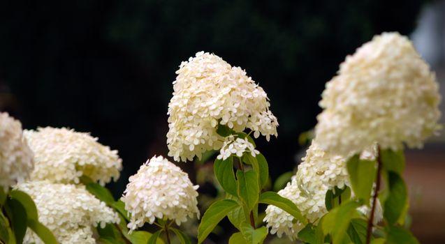 White summer hydrangea blossom flower fresh green black backgrou