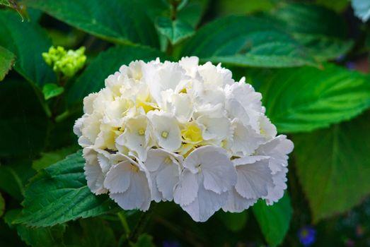 White hydrangea blossom flower fresh green summer