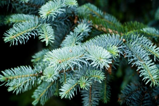 Pine brunches