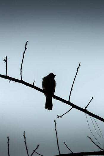 Silhouette scene of bird standing alone on tree branch with gray sky background during winter morning.