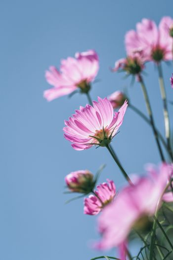 Close focus on bright pink blooming cosmos flowers touching sunlight with background of blue sky in morning of winter.