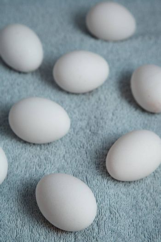 Chicken eggs on a blue fiber