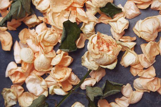 Rose flower and fallen petals