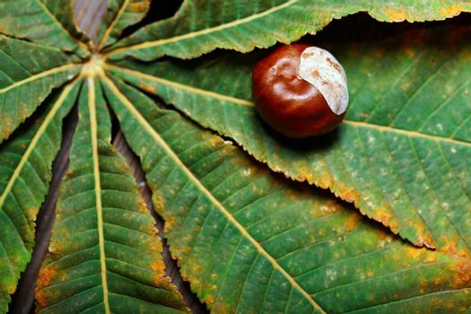 Chestnuts on the leaf. Close-up