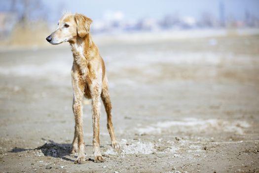 Tazy - Kazakh greyhound dog