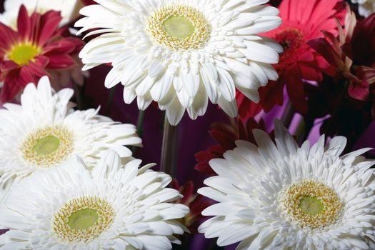 Chrysanthemum. Macro photo of the red and white flowers