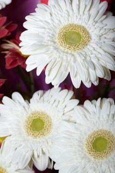 Chrysanthemum. Macro photo of the white flower