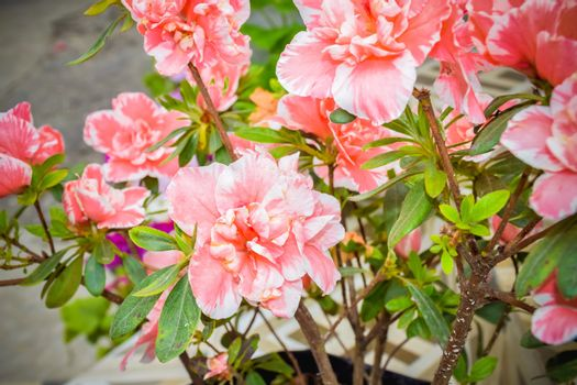 Carnation or clove pink or Dianthus caryophyllus. It is an herbaceous perennial plant, growing in sunlight.