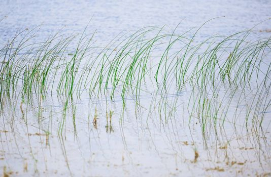 Reed plants in open water of the Florida lake