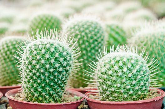 cactus plant in garden cactus.