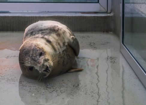 grey seal in a animal shelter, Animal health care, adorable portrait of a water mammal