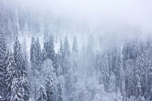 Aerial view on the coniferous forest in the mountains in winter