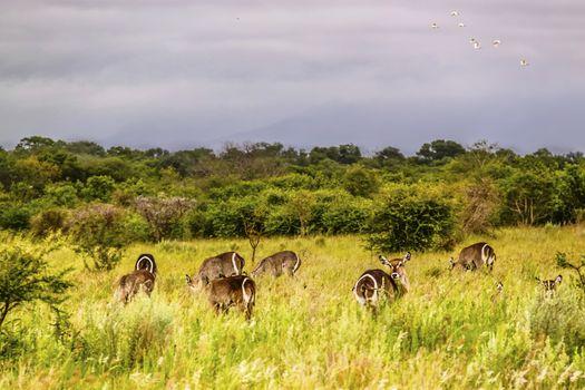 Waterbucks grazing in the grasslands at Kruger National Park