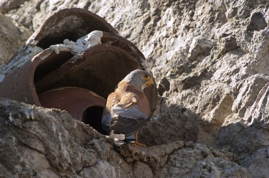Lesser kestrel, Male at the entrance of the nest, Falco naumanni