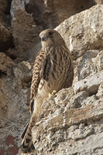 Lesser kestrel, female, Falco naumanni