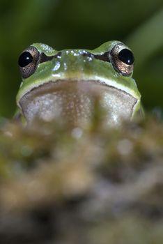 Nice amphibian green European tree frog, Hyla arborea, details o