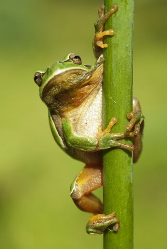 Pretty amphibian green European tree frog, Hyla arborea, sitting