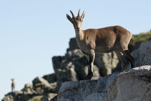 Goat Montés Ibérica, Capra pyrenaica, Iberian Ibex, Spain, on