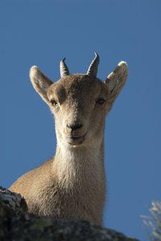 Iberian ibex, Capra pyrenaica, Iberian Ibex, Spain, on top of th