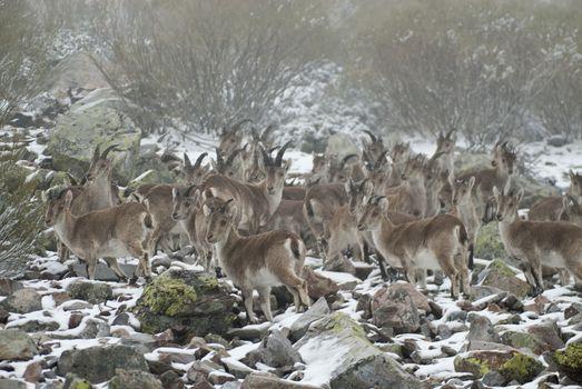 Mountain goat Iberian, Capra pyrenaica, Iberian Ibex, Spain, in