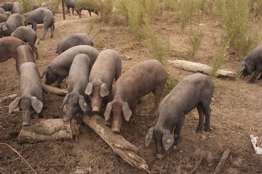 Pigs of the Iberian breed, Spain, Pata negra, Jabugo