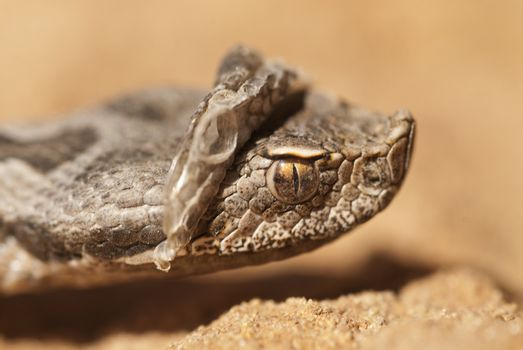 Portrait of a snout viper changing its skin, Vipera latastei, A
