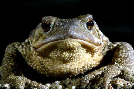 common toad bufo bufo, amphibian