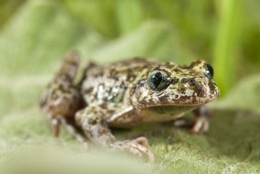 Iberian speckled sapillo (Pelodytes ibericus), amphibian