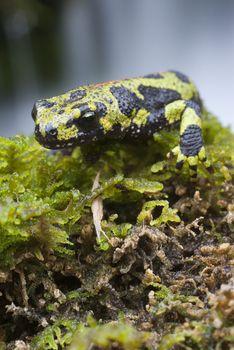 Marbled newt, Triturus marmoratus in the water, crest, amphibian