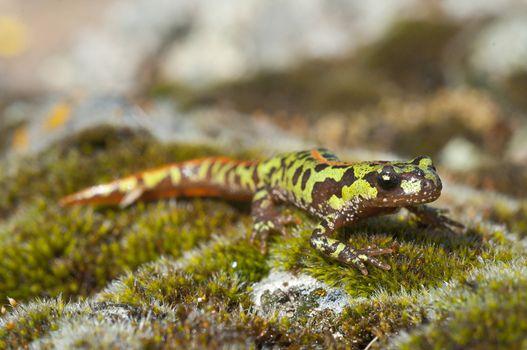 Pygmy marbled newt (Triturus pygmaeus), amphibian