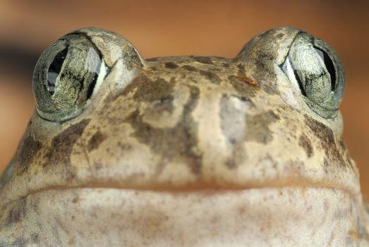 Spadefoot toad, Pelobates cultripes, amphibian