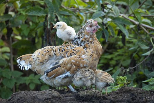 Hen with her chicks, protecting herself under her mother's feathers